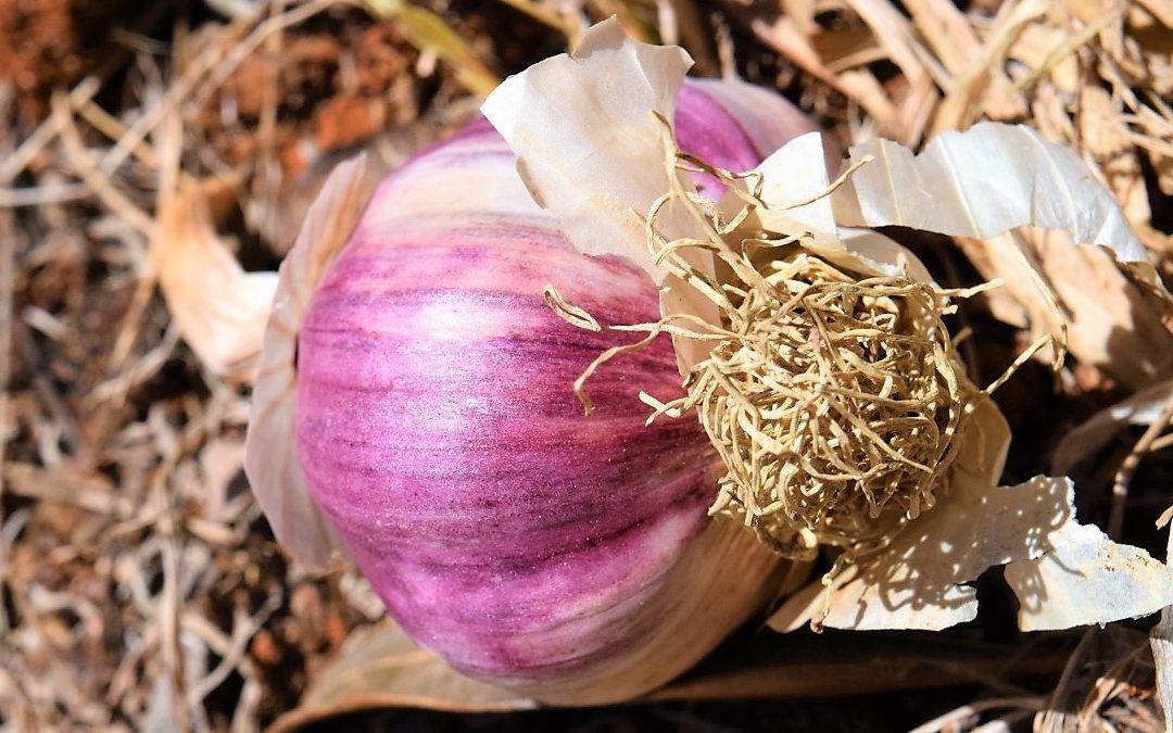 5 Manfaat Bawang Putih Yang Jarang Diketahui