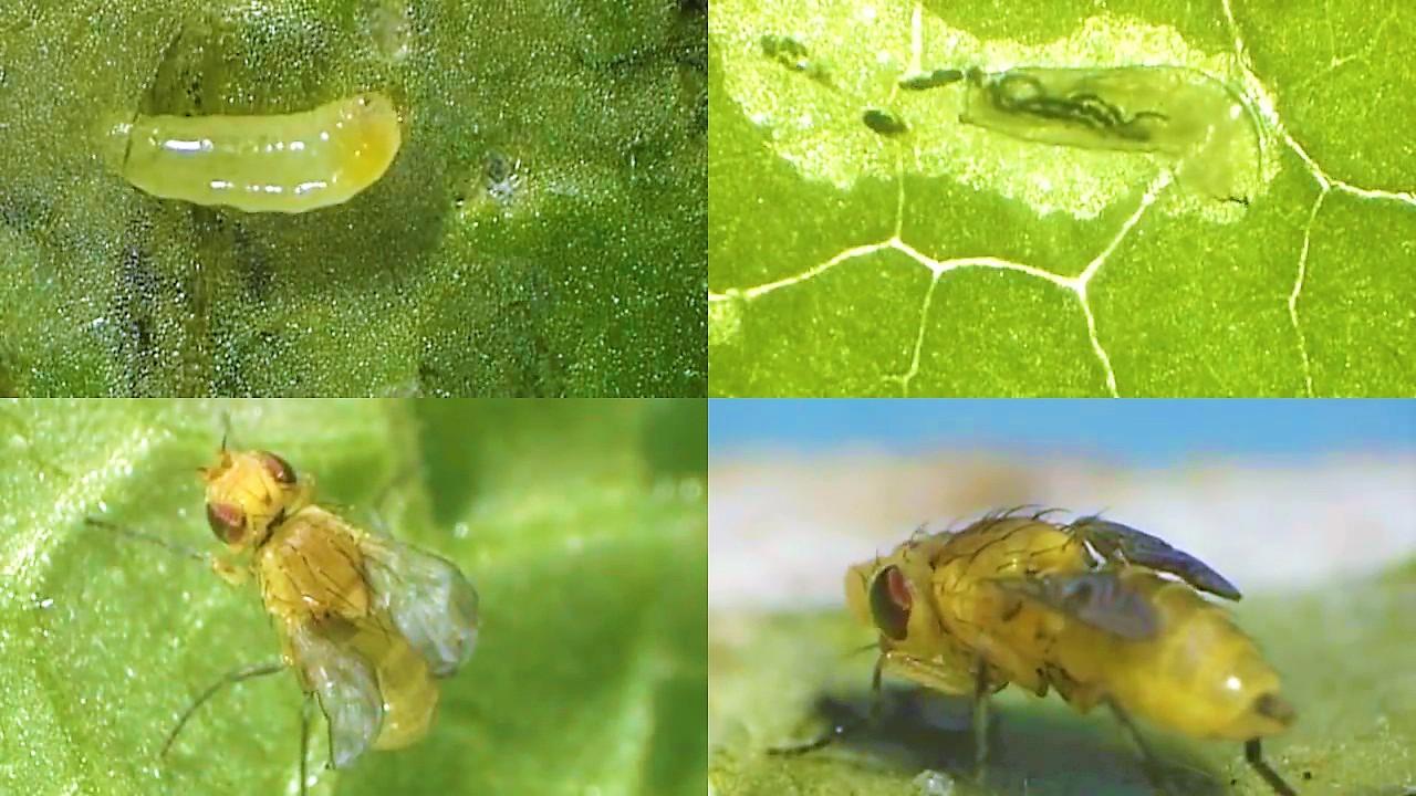 hama daun bawang hidroponik
