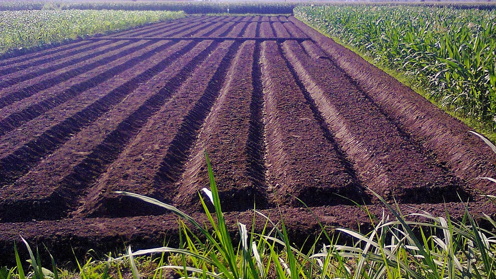 lahan bawang brebes